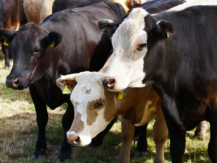 Cattle Processing