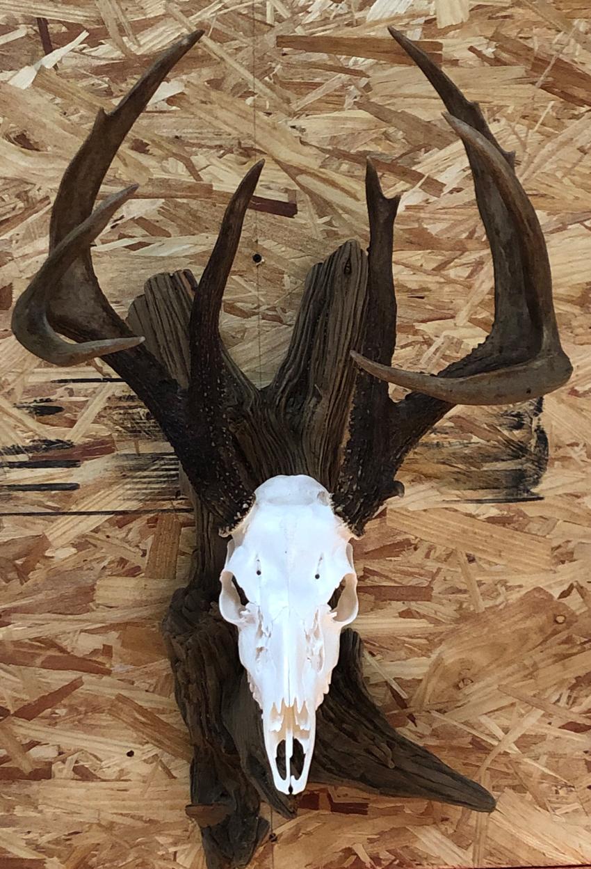 skull mount